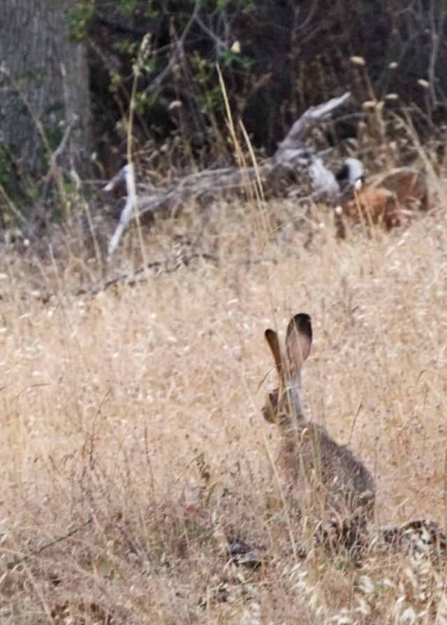 Grass Valley jackrabbit