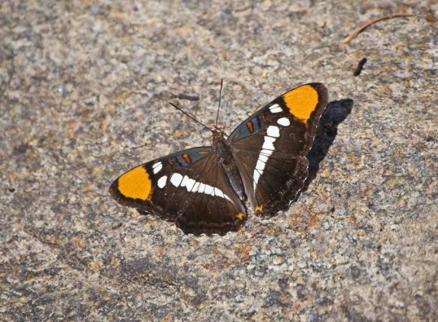 North Yuba Butterfly