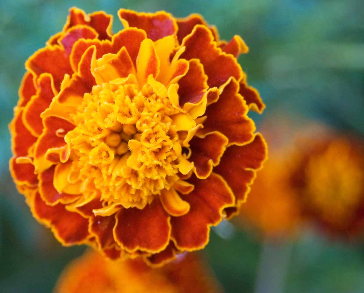 Picture a Day #294 – October Marigold | When You're Bored