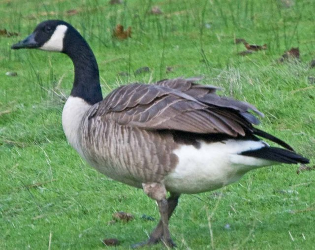 Grass Valley goose