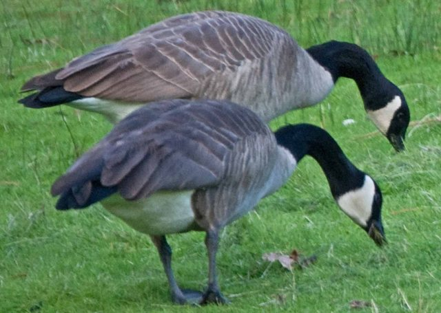 pair of Grass Valley geese