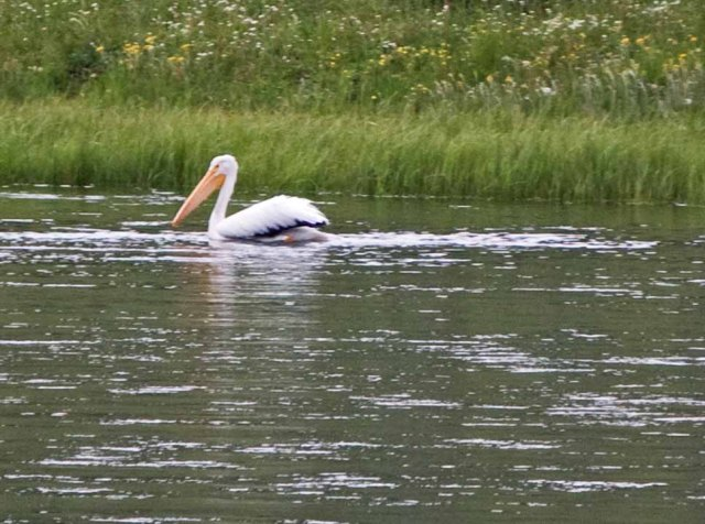 white pelican Yellowstone