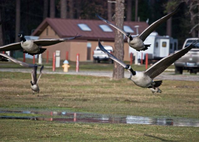 more hungry geese