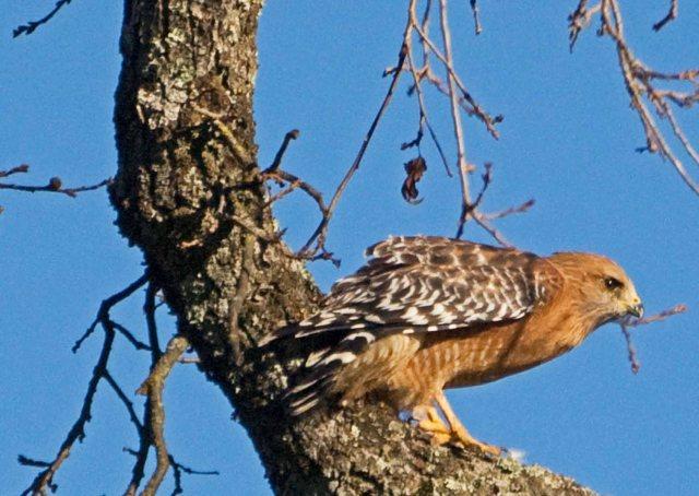 Red-shouldered Hawk 1