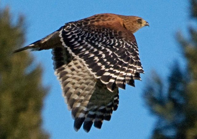 Red-shouldered Hawk 2