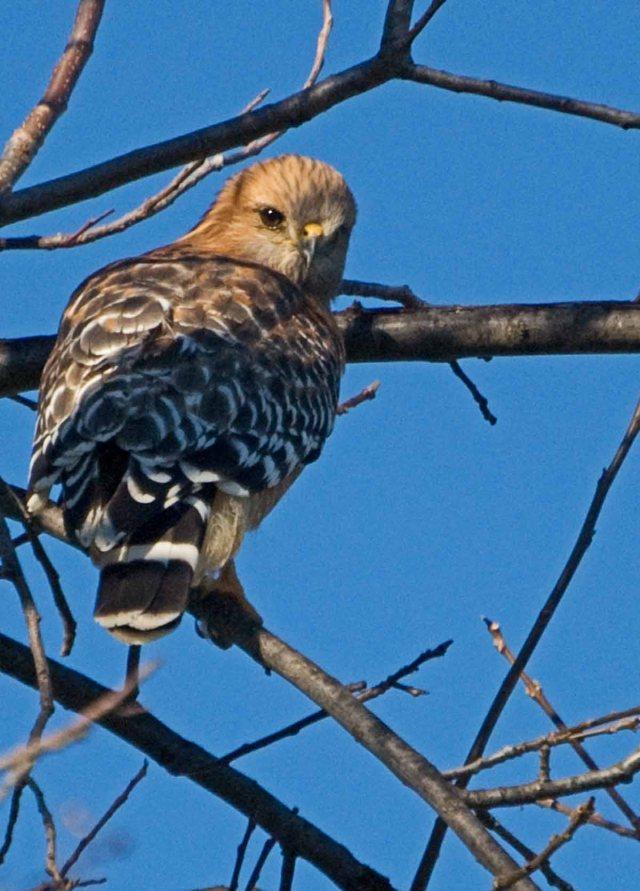 Red-shouldered Hawk 3