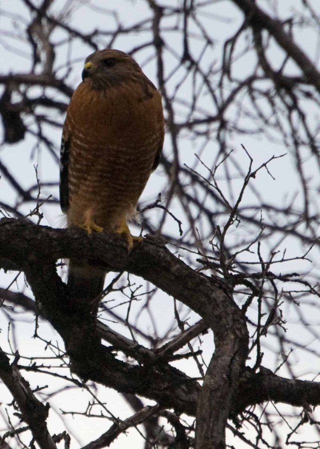 Red-shouldered Hawk in January 1