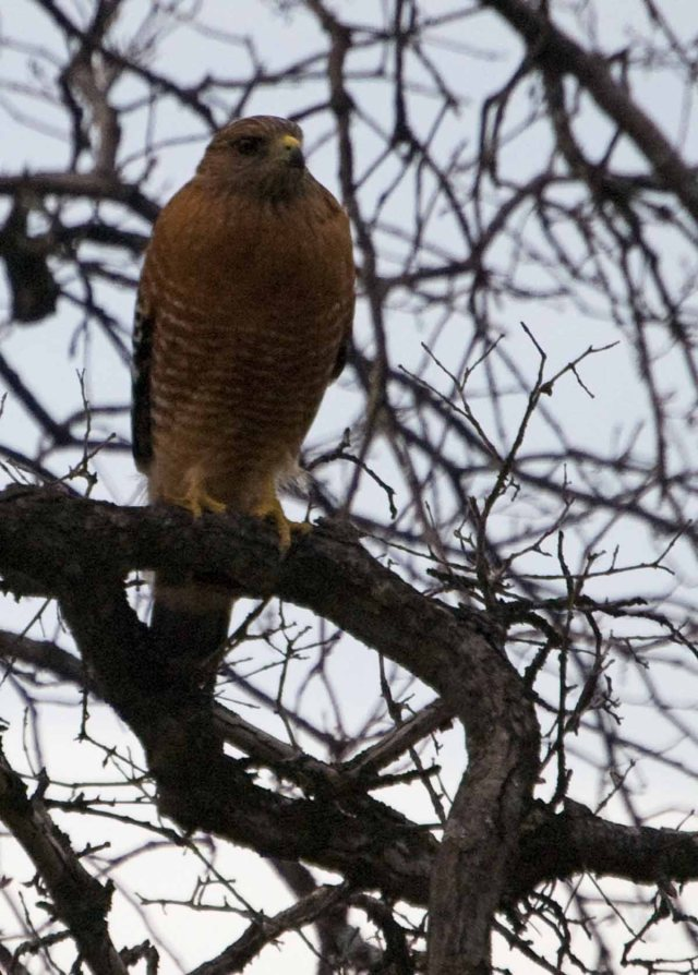 Red-shouldered Hawk in January 2