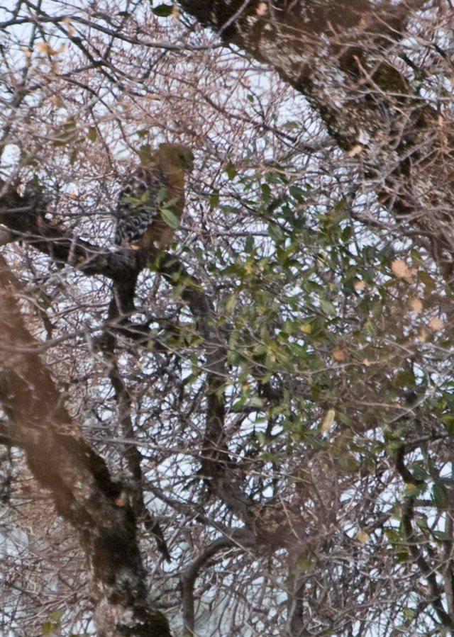 Red-shouldered Hawk in Oak