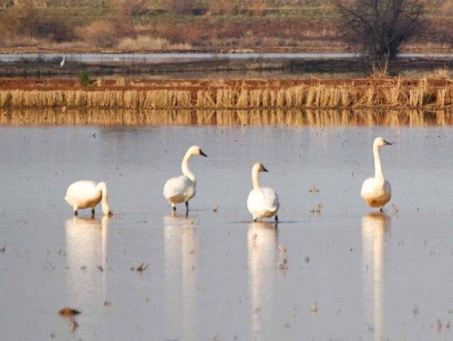 swan quartet