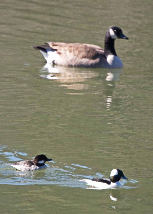 goose and bufflehead pair