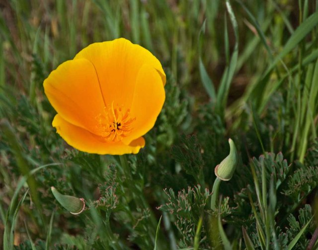 Sonoma County poppy 2