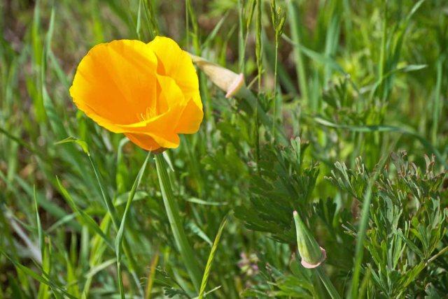 Sonoma County poppy 4