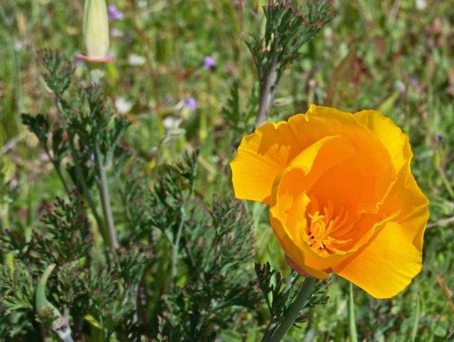 Sonoma County poppy