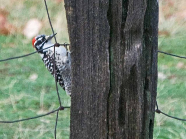 GV Nuttall's woodpecker