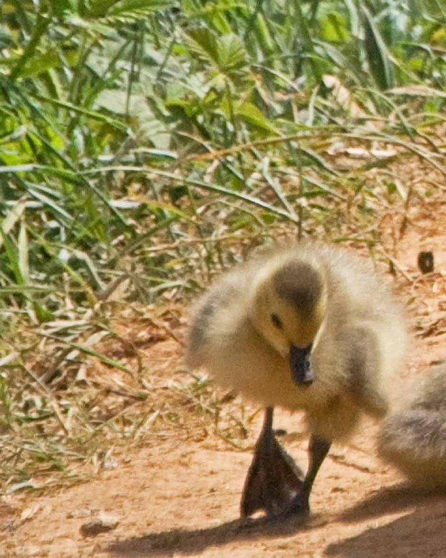 late april gosling 2