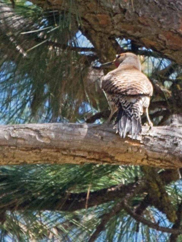 flicker in pine