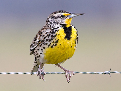 Weatern Meadowlark