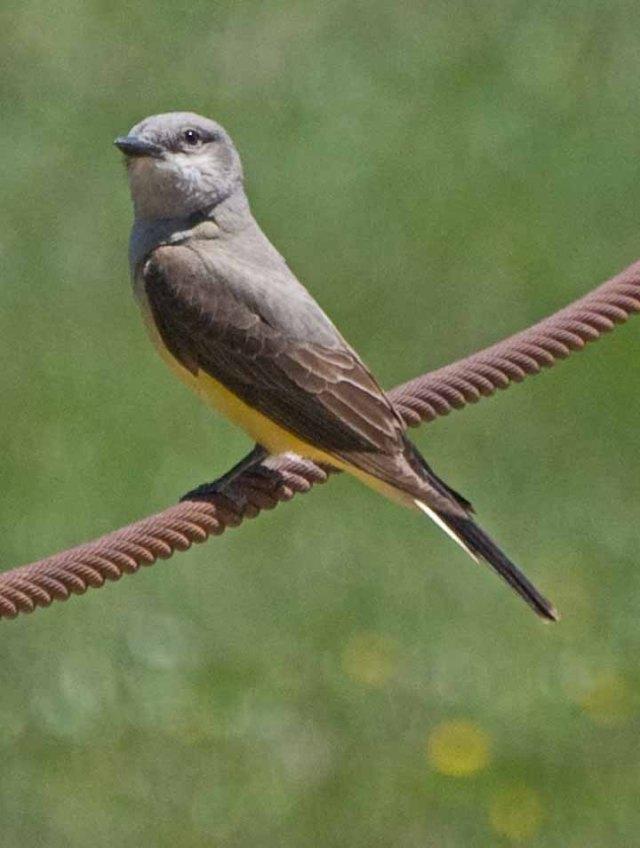 Kingbird 1