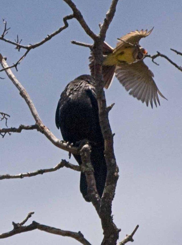 Kingbird aand Raven 1