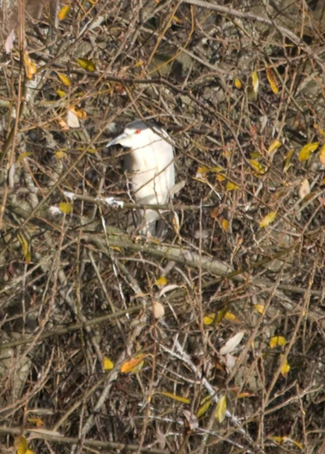 black-crowned night heron 2