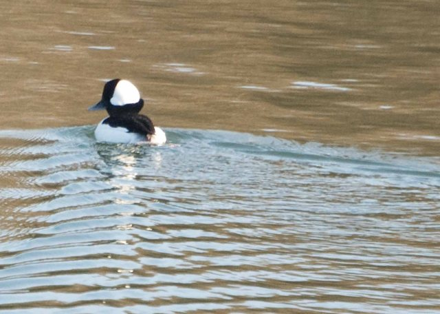 Bufflehead on Mad River
