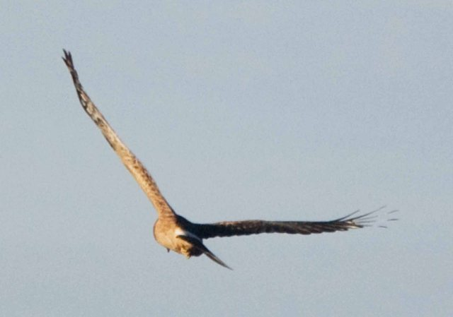 northern harrier 2