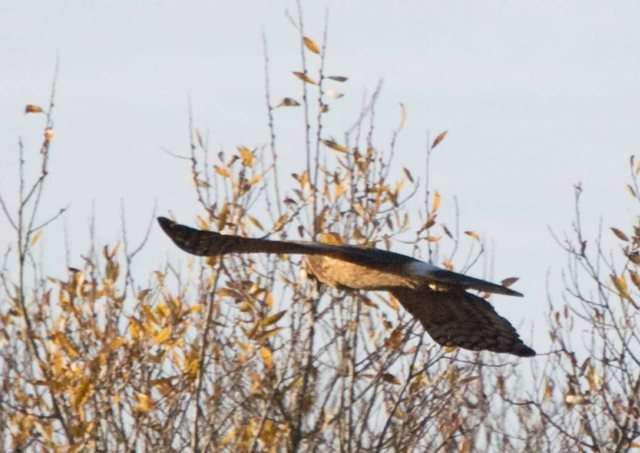 northern harrier 8