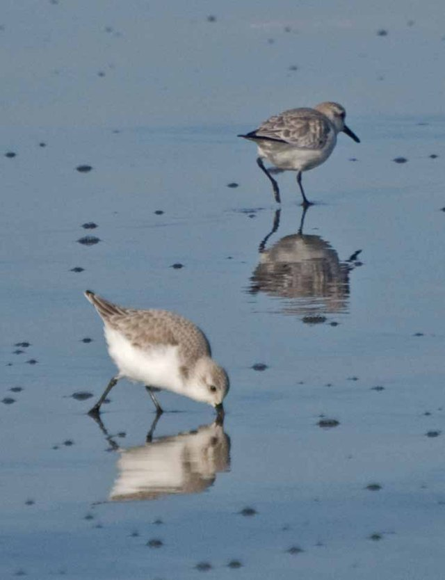 Sandpipers at Mad River Beach