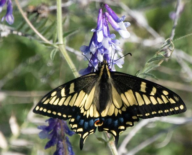 Anise Swallowtail on lupine