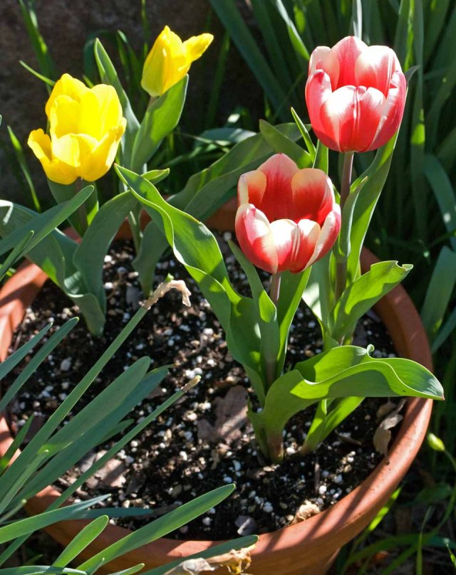 March tulips 1