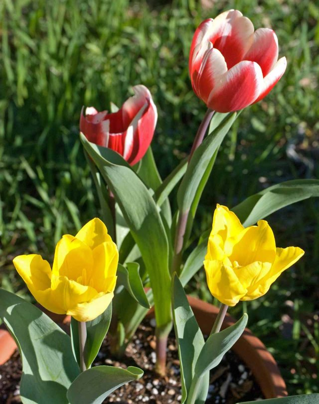 March tulips 2