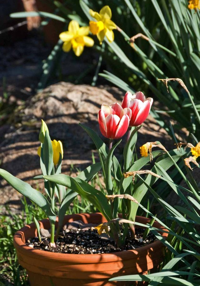 March tulips 4