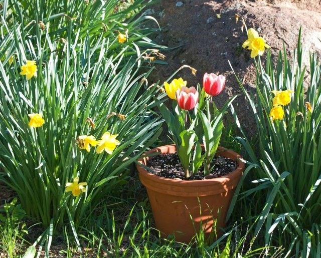 March tulips 5