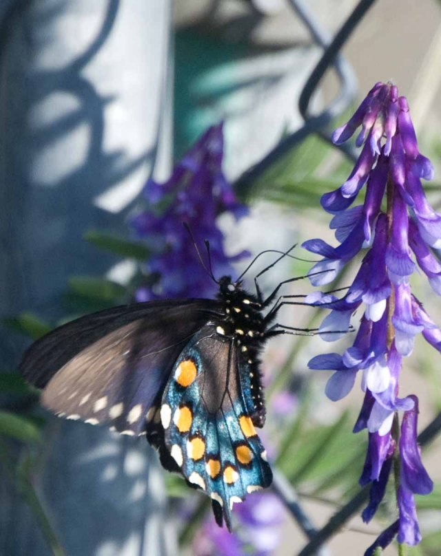 Pipevine Swallowtail on lupine