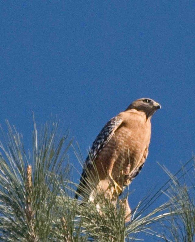 red-shouldered hawk perch 2