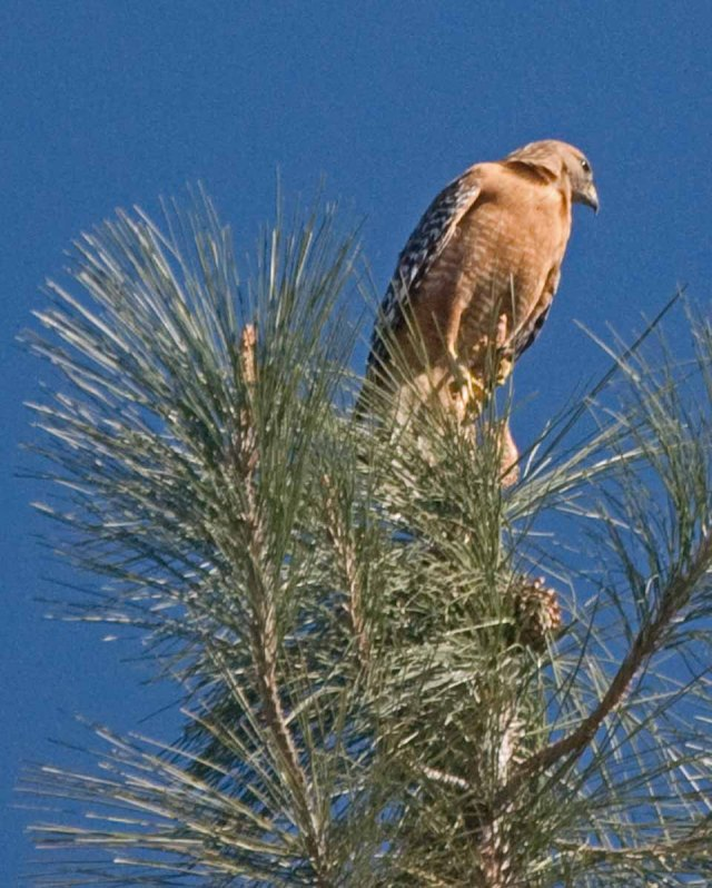 red-shouldered hawk perch1