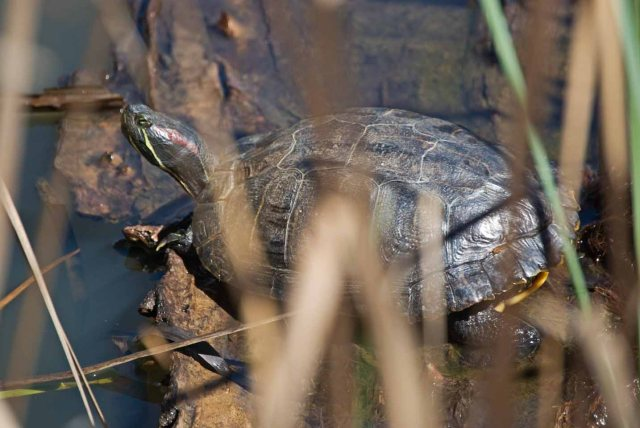 red-eared slider closeup two