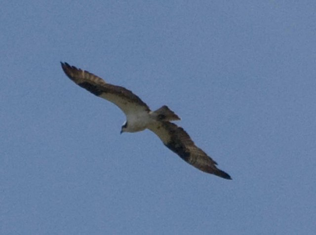 Arcata Marsh Osprey