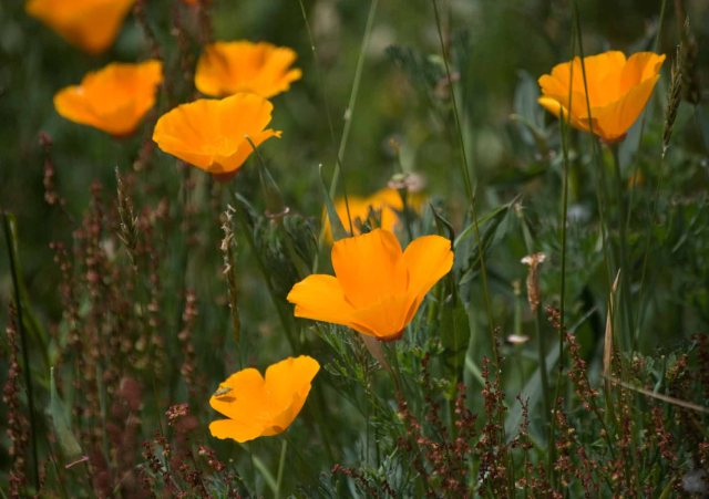 Arcata Marsh poppies