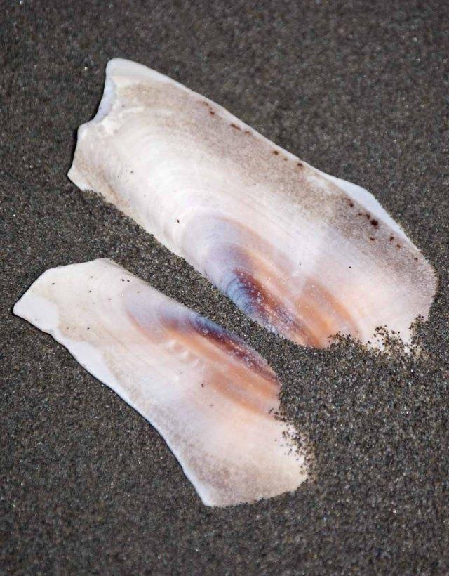 shore shell 1