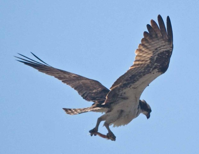 female Osprey with fish