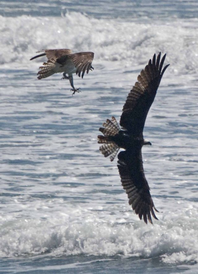 Osprey pair one diving