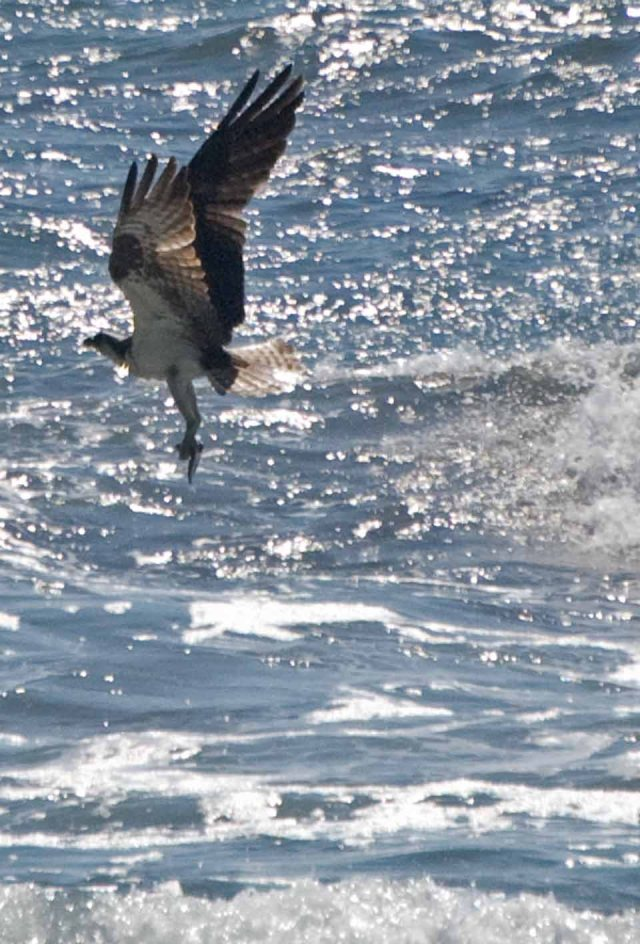 Osprey rising with fish
